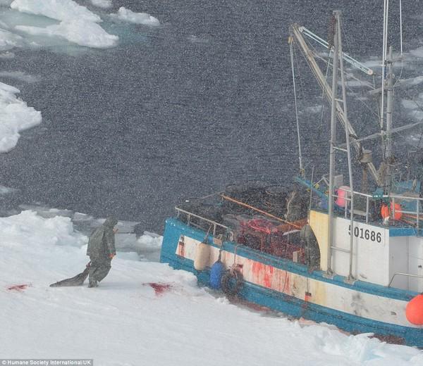 Hình ảnh Kinh hãi cảnh giết hải cẩu con đẫm máu để lấy lông số 5