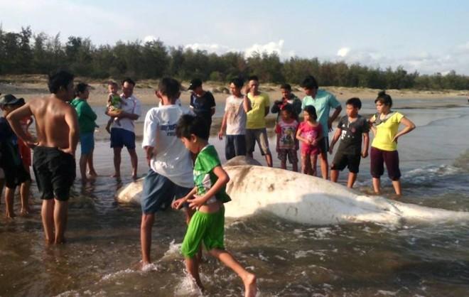 Cá voi khổng lồ nặng gần 2 tấn dạt vào bờ biển Bình Thuận 1