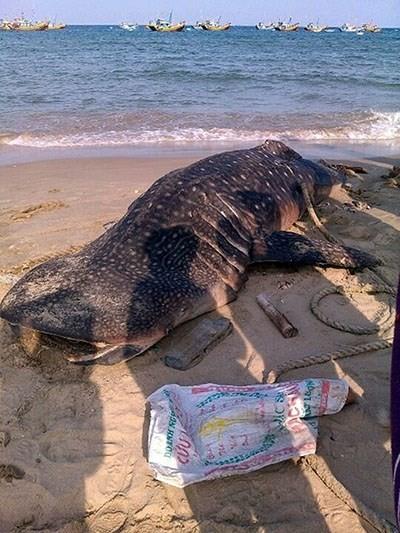 Cá voi khổng lồ, giúp người đi biển trôi dạt vào Mũi Né 1