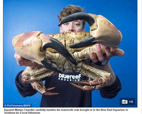 Bắt được cua khủng với đôi càng khổng lồ có thể nghiền nát cổ tay người 2