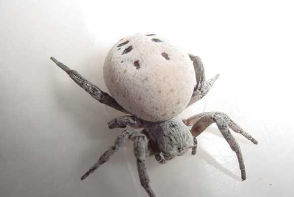 Khám phá loài nhện nôn ruột cho con ăn 1