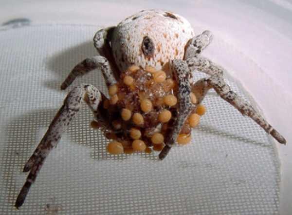 Khám phá loài nhện nôn ruột cho con ăn 6