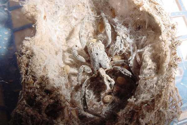 Khám phá loài nhện nôn ruột cho con ăn 7