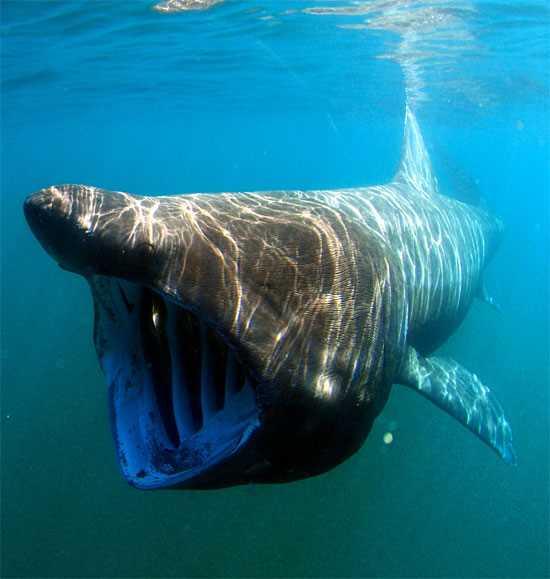 Xuất hiện cá mập 'khổng lồ' dài 8m, có thân hình quái dị 1