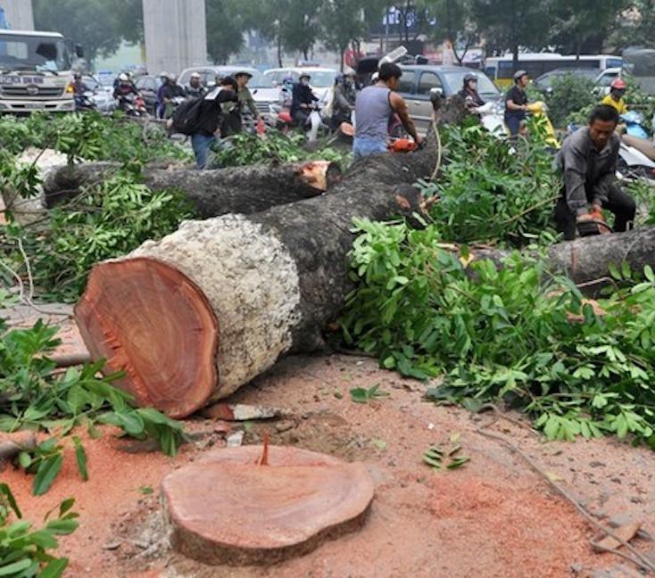 Thanh tra chặt cây: Cây trồng thay thế trên phố Nguyễn Chí Thanh là gỗ mỡ 2