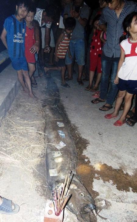 Xác cá mái chèo dài 4m, nặng 30kg trôi dạt vào bờ biển Hà Tĩnh 1