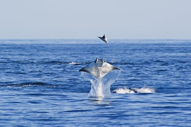California: Hàng nghìn con cá đuối quỷ nhảy lên mặt nước 6