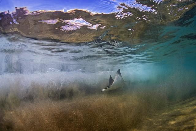 California: Hàng nghìn con cá đuối quỷ nhảy lên mặt nước 2