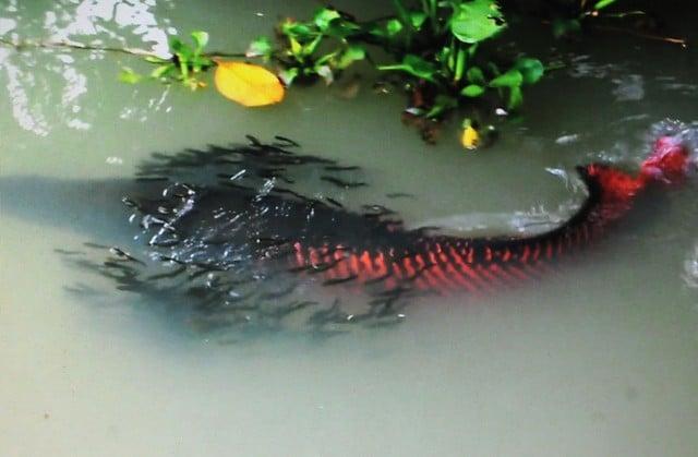Đổ xô xem đàn cá hải tượng giá hàng tỷ đồng ở Tây Ninh 1