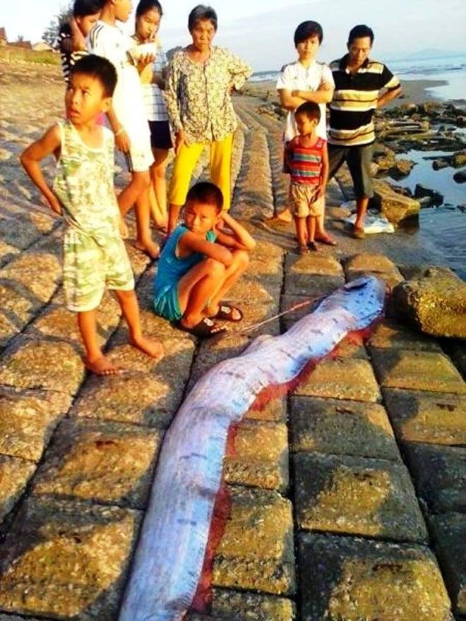 Cá mái chèo dài 3,5 m, nặng 50kg trôi dạt vào bờ biển Hà Tĩnh 1