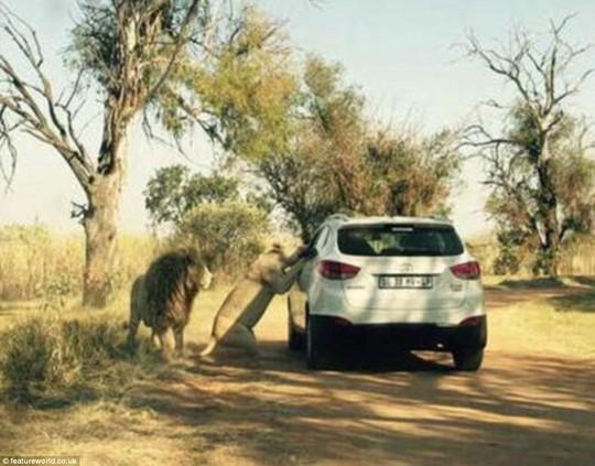 Ảnh chụp khoảnh khắc sư tử chuẩn bị lao vào xe cắn chết nữ du khách 1
