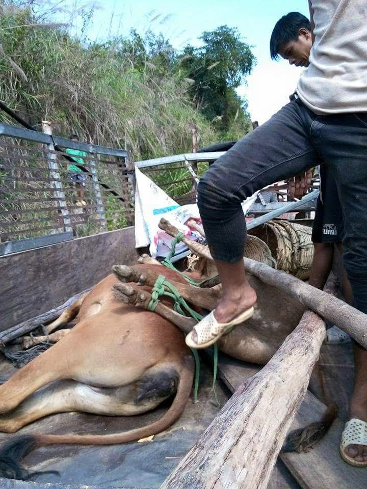 Sập cầu treo ở Kon Tum, người và đàn bò bị hất tung xuống suối 1