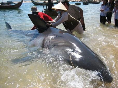 Điểm danh những thủy quái từng sa lưới ngư dân Việt có giá khoảng 200 triệu đồng 8