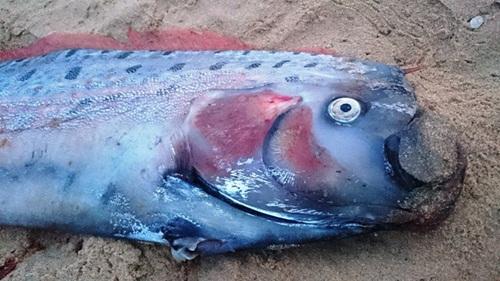 Điểm danh những thủy quái từng sa lưới ngư dân Việt có giá khoảng 200 triệu đồng 10