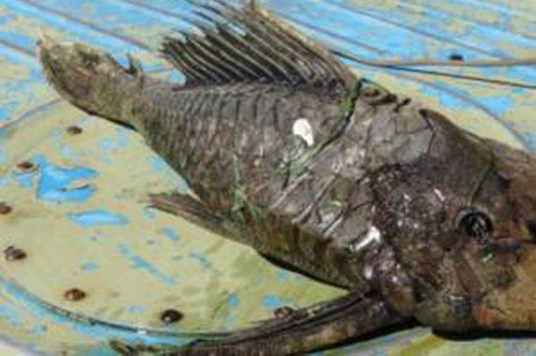 Bắt được cá đột biến đầu rùa vảy hóa thạch ở Nga 1
