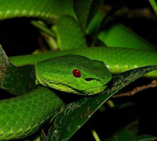 Thai phụ bị rắn lục đuôi đỏ cắn 2