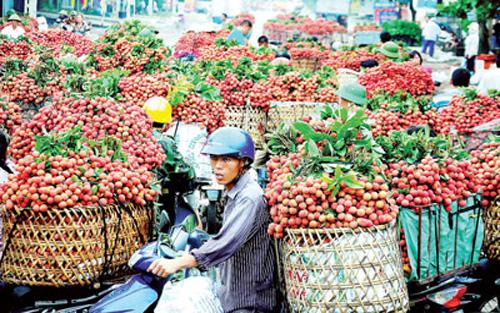 Hình ảnh Thương lái Trung Quốc ngừng mua, vải thiều Lục Ngạn rớt giá thê thảm số 1