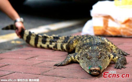 Trung Quốc: Tuyển việc bằng thử thách hôn cá sấu 3