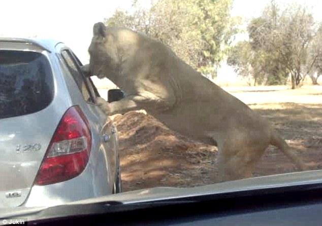 Sư tử bất ngờ tấn công du khách qua cửa sổ ô tô 1