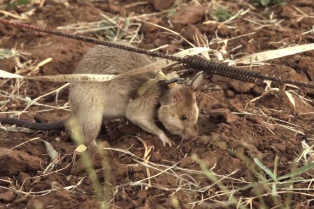 'Bật mí' về những chú chuột chuyên dò mìn 1