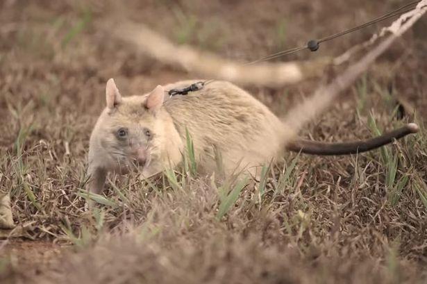 'Bật mí' về những chú chuột chuyên dò mìn 2