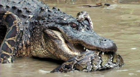 Những trận 'quyết chiến' giữa trăn Miến Điện và cá sấu châu Mỹ 2