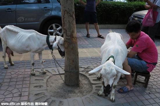 Trung Quốc: Người dân đổ xô mua sữa dê tươi ngay trên vệ đường 6