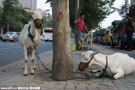 Trung Quốc: Người dân đổ xô mua sữa dê tươi ngay trên vệ đường 7