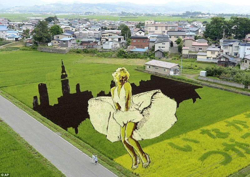 Những bức tranh độc đáo trên cánh đồng lúa ở Nhật Bản 2