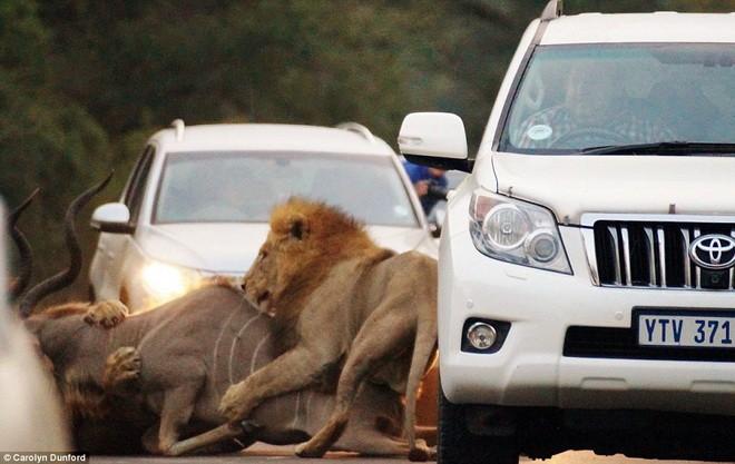 Nghẹt thở xem sư tử rượt đuổi linh dương giữa đường 4