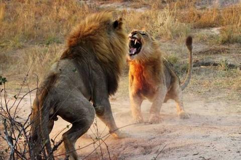 Cận cảnh trận đại chiến khốc liệt chiếm bầy của sư tử trưởng thành 2