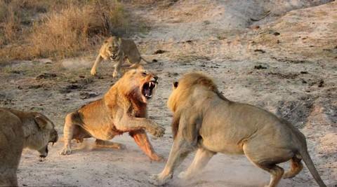 Cận cảnh trận đại chiến khốc liệt chiếm bầy của sư tử trưởng thành 3