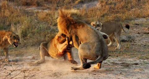 Cận cảnh trận đại chiến khốc liệt chiếm bầy của sư tử trưởng thành 4