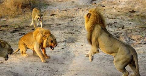 Cận cảnh trận đại chiến khốc liệt chiếm bầy của sư tử trưởng thành 6