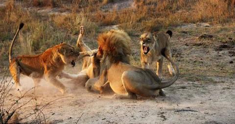 Cận cảnh trận đại chiến khốc liệt chiếm bầy của sư tử trưởng thành 7