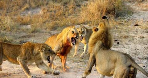 Cận cảnh trận đại chiến khốc liệt chiếm bầy của sư tử trưởng thành 8