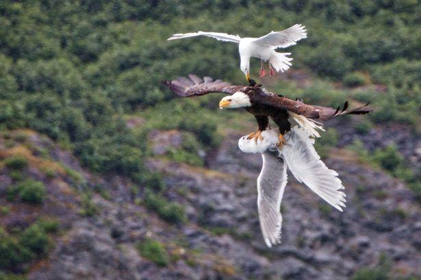 Xúc động chim hải âu đuổi theo quyết chiến đại bàng để cứu bạn 1