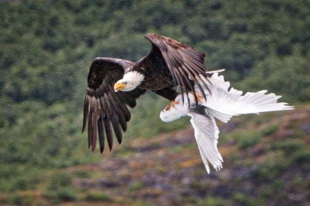 Xúc động chim hải âu đuổi theo quyết chiến đại bàng để cứu bạn 2