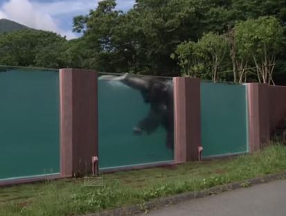 Bể bơi 65 mét trong suốt dành riêng cho voi 1