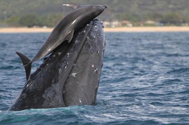 Cảnh cá voi nô đùa với cá heo hiếm thấy 1