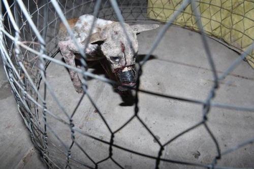 Dân mạng xúc động vì chú chó bị hoại tử Bến Tre được cứu chữa kịp thời 2