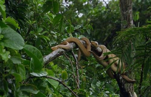 Video: Cận cảnh loài rắn độc 'bá chủ' trên Đảo rắn Brazil 1