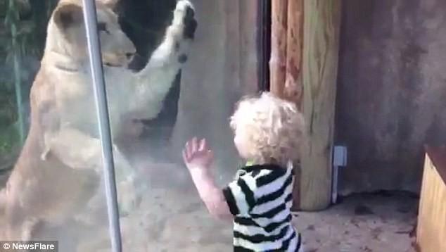 Video: Cậu bé thích thú chơi đùa với sư tử 1