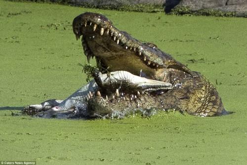 Cận cảnh cá sấu sông Nile khổng lồ nuốt chửng đồng loại 1