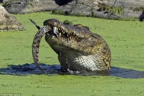 Cận cảnh cá sấu sông Nile khổng lồ nuốt chửng đồng loại 4