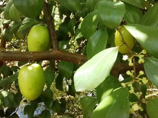 Trồng táo hồng, nông dân thu lãi trăm triệu đồng 1