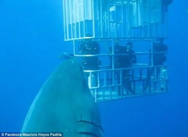 Video: Phát hiện cá mập trắng lớn nhất thế giới ở Thái Bình Dương 1