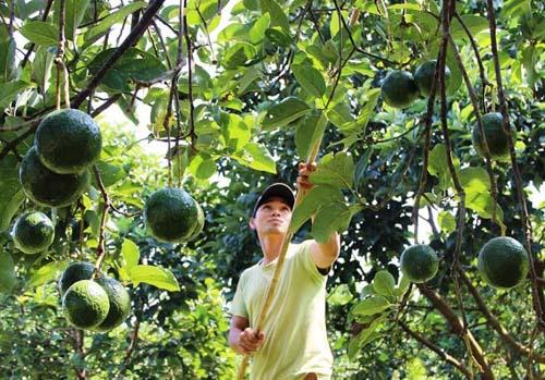 Nông dân đua nhau trồng cây ngọai nhập thu trăm triệu/năm 1