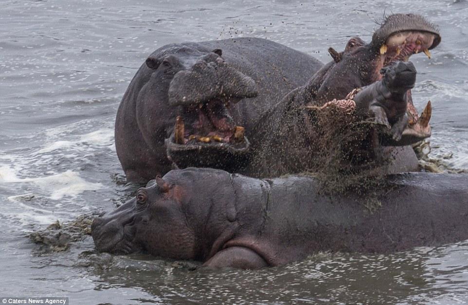 Hà mã mẹ bất lực nhìn đồng loại giết chết con và bị cá sấu xẻ thịt 4