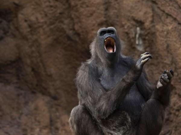 Nghiên cứu mới: Khỉ có khả năng 'nói' được tiếng người 2